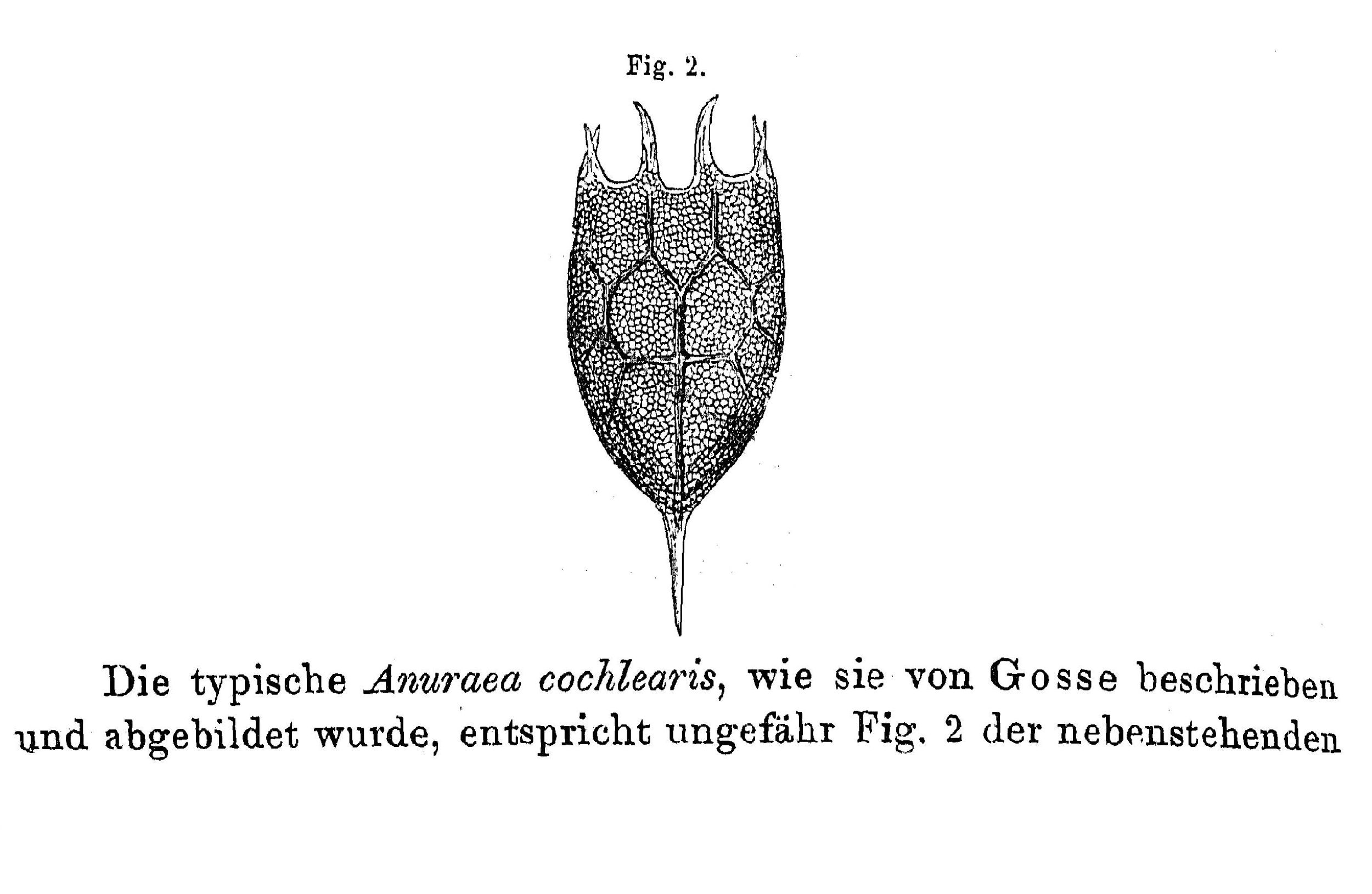Keratella cochlearis gosse 1851 p 598 fig 2